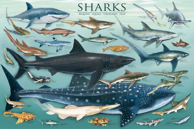 EuroGraphics Shark Chart: EuroGraphics is a leading publisher of educational posters and art prints. Detailed illustrations, striking photography and prints of the world's most renowned artworks are featured in the collection. Source: http://www.walmart.ca/en/ip/sharks/10202713?